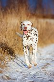 beautiful dalmatian dog outdoors