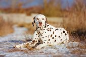 foto of spotted dog  - white and brown dalmatian dog outdoors in winter - JPG