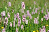 Clover Flowers In The Field