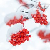 stock photo of mountain-ash  - Bunches of colorful mountain ash covered with snow - JPG