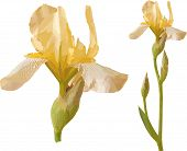 Vector yellow iris