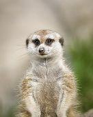 Watchful Meerkat