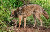 stock photo of coyote  - Adult Coyote  - JPG