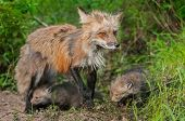 Red Fox Vixen (vulpes Vulpes) And Kits - Ears Back