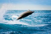 image of bottlenose dolphin  - beautiful playful dolphin jumping in the ocean galapagos islands - JPG