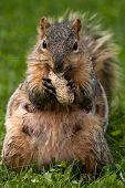 Female Eastern Fox Squirrel