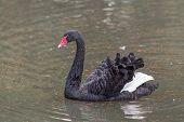 pic of black swan  - Portrait of a black swan in the water  - JPG