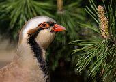 Rock partridge