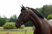 foto of breed horse  - Black latvian breed horse portrait at the countryside in summer - JPG