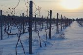 picture of mendocino  - Panorama of the vineyard in the winter at sunset - JPG