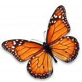 picture of monarch  - Beautiful monarch butterfly isolated on white background - JPG