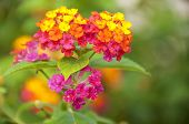 picture of lantana  - Macro of pink and yellow lantana camara flower - JPG