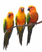 picture of tame  - Sun Conure Parrot bird perching on a branch white background - JPG