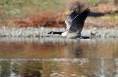 foto of canada goose  - A Lone Canada Goose Flying Over the Lake - JPG