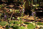 Heart-leaved Skullcap Purple Wildflower