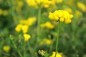 Yellow Wild Flower: Black Medic: Medicago Lupulina