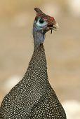 A Guinea Fowl in Namibia