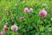 Purple Clover Wild Flower In Midwest United States Meadow