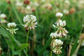 White Clover Wild Flower In Midwest United States Meadow