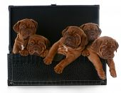 pic of dogue de bordeaux  - litter of puppies  - JPG