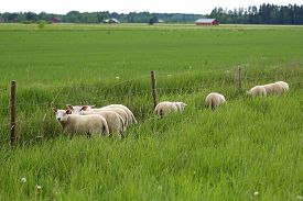 stock photo of baby sheep  - Group of young sheep eating clover leaves from the other side of the fence of their green pasture at summer - JPG