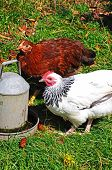 foto of bantams  - Two free range Light Sussex Bantams drinking water from a tin container England UK - JPG