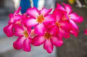 picture of desert-rose  - Desert rose or Impala lily - JPG