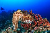 foto of cuttlefish  - Large Cuttlefish deep underwater with background SCUBA divers - JPG