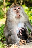 pic of macaque  - Mother and baby crab eating Macaque in Ubud Bali - JPG