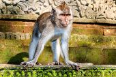 stock photo of macaque  - Balinese long-tailed Macaque monkey standing on a temple