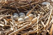 pic of bird egg  - Birds nest with eggs in the wild, on a sunny day. ** Note: Shallow depth of field - JPG