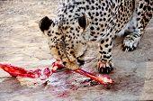 picture of cheetah  - Closeup of Rehabilitating Cheetah in Captivity - JPG