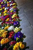picture of stall  - Colorful primeroses on a market stall in a village - JPG