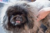 picture of grooming  - Pekingese dog is standing on the table and is grooming by the groomer - JPG