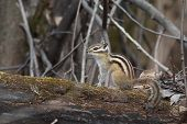 stock photo of chipmunks  - small Chipmunk in their natural habitat  - JPG