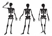 picture of shoulder-blade  - three human skeleton on a white background - JPG