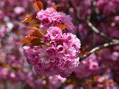 stock photo of sakura  - Spring time - JPG