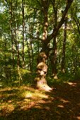 pic of linden-tree  - A large linden tree in the forest with many so - JPG
