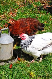 picture of bantams  - Two free range Light Sussex Bantams drinking water from a tin container England UK - JPG