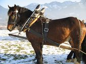 pic of clydesdale  - A clydesdale horse pulling a sleigh through the wintery snow covered Bavaria - JPG