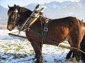 Clydesdale horse sleigh-ride