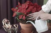 watering poinsettia plant