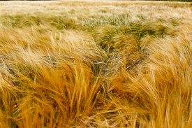 stock photo of cross-hatch  - Soft Barley crop plants growing in Cotswolds countryside during Summer before harvest - JPG