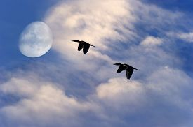 image of moon silhouette  - Birds flying silhouette moon is two birds soaring to the moon with a rich vibrant white cloudscape and blue sky background - JPG