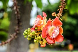 stock photo of cannonball-flower  - close up Canonball flower in Thailand temple - JPG