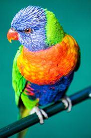 foto of lorikeets  - Colorful Rainbow Lorikeet isolated on green background - JPG