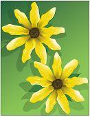 Yellow Flowers Showy Goldeneye