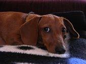Miniature Dachshund Puppy Eyes