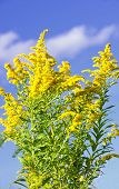stock photo of ragweed  - Blooming goldenrod plant on blue sky background - JPG