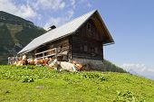 Mountain Hut And Cattle
